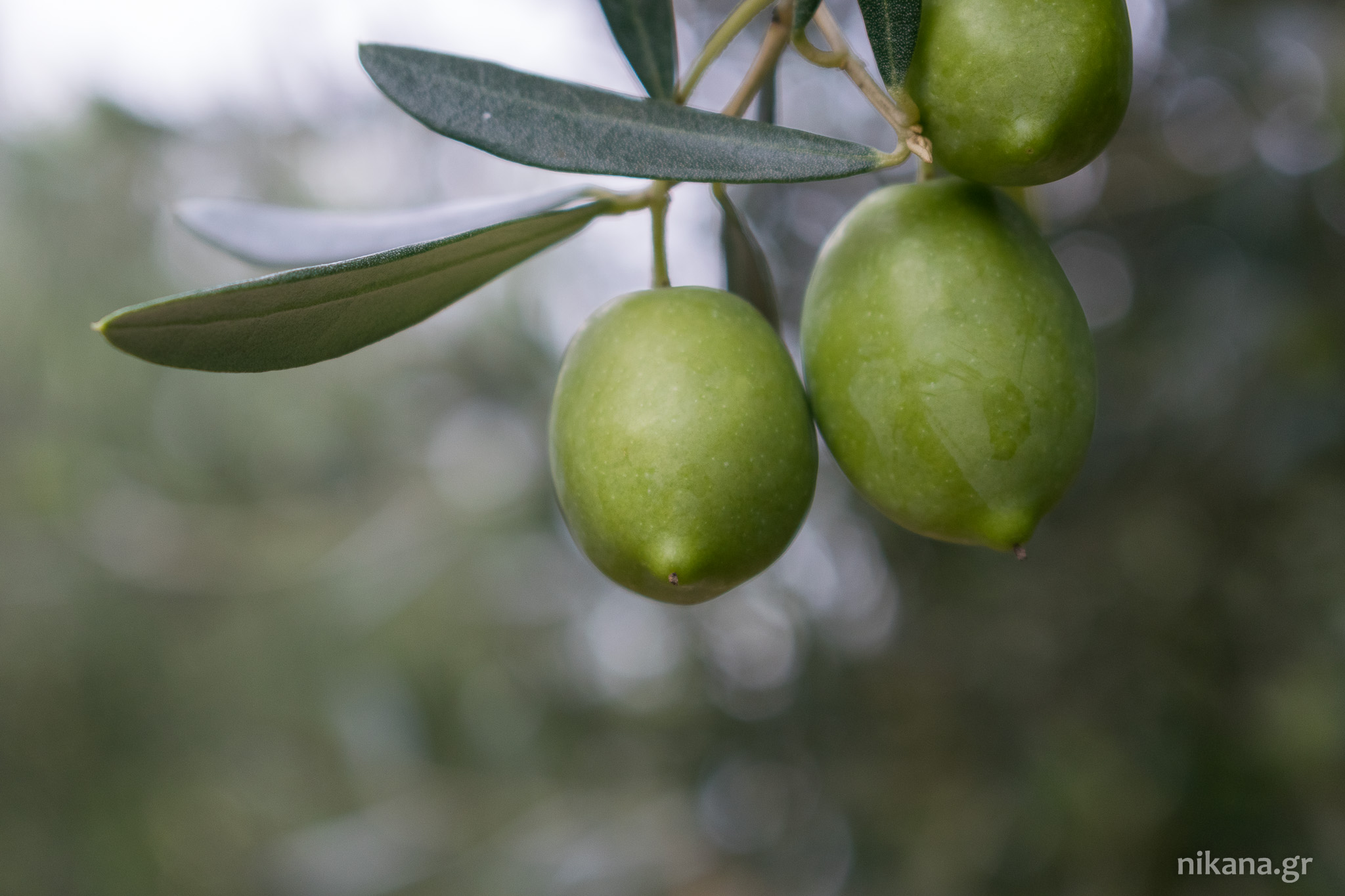 olives greece sithonia (28)