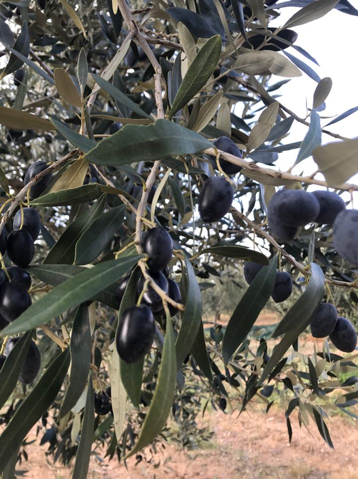 olives greece sithonia (3)