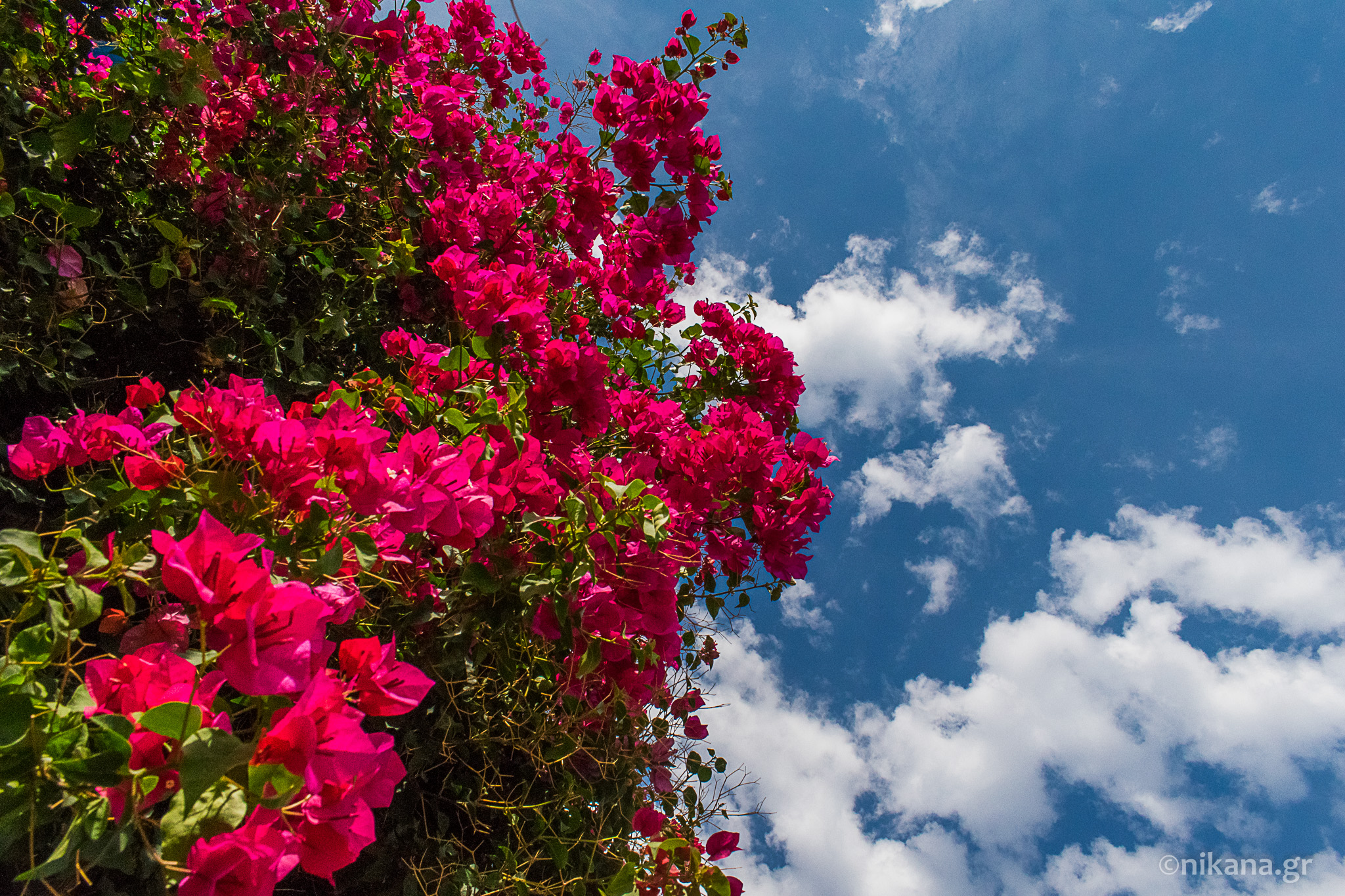 bougainvillea greece (1)