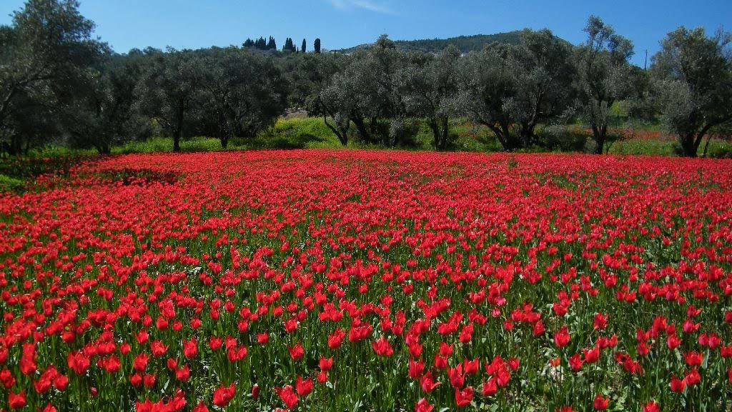 wild tulips lalades chios