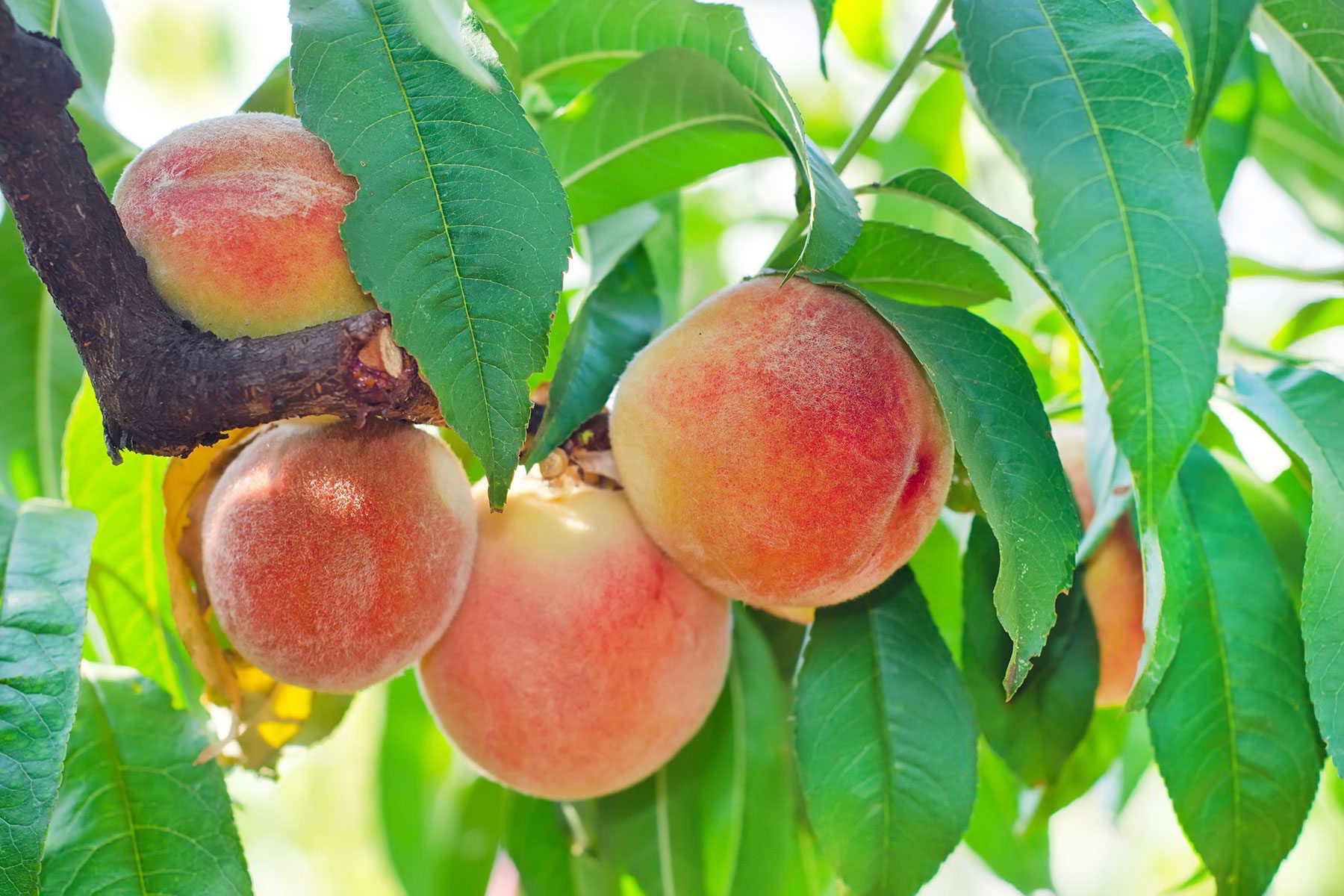 peaches veria greece (3)
